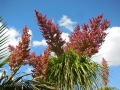 Flowering habit at Wattleup Nursery and Palm Lake Display Gardens. Perth W.A. Australia.
