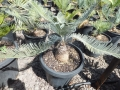 Cycas calcicola. over 25 years old from seed grown. At Cycad International. Katherine (Australia)
