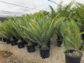 Potted specimens at Cycad International,  Katherine, Northern Territory, Australia.